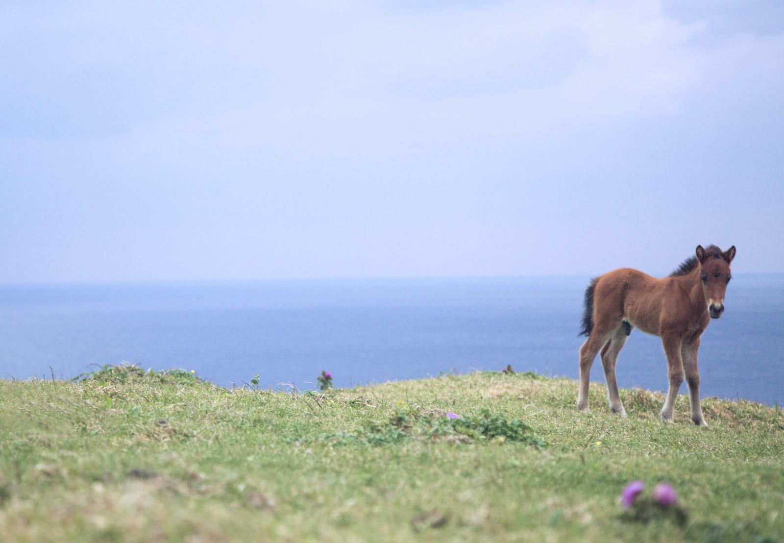 草原の子馬