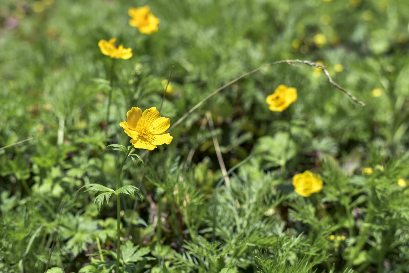 牧野富太郎植物